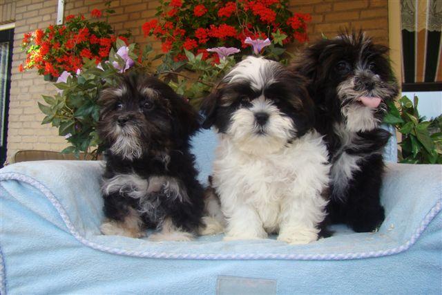 Puppyplaatsnl  Pups aangeboden