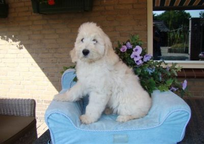 goldendoodle-pups