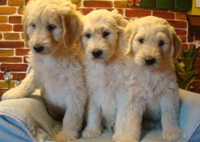 labradoodle-pups