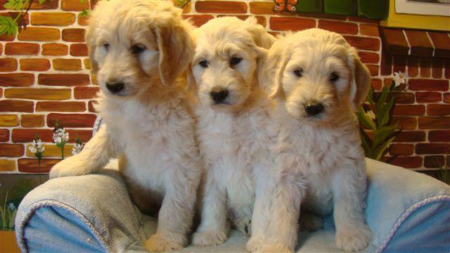 Doodle pups - Dierenpension