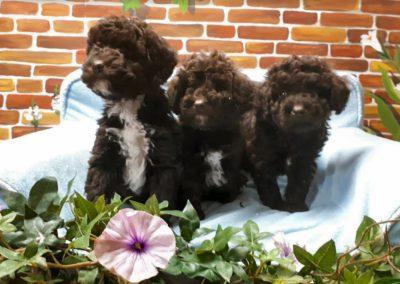 19-11-11-Minidoodle